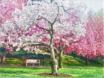 NPS Pushes Back Cherry Tree Peak Bloom in D.C.