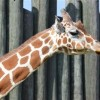 Maryland Zoo Mourning Loss of Giraffe Angel