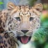 MARYLAND ZOO WELCOMES AMUR LEOPARD