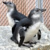 "IT'S ""DAWN AND HOPE"" FOR MARYLAND ZOO'S PENGUIN CHICKS!"
