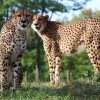 MARYLAND ZOO WELCOMES CHEETAH BROTHERS